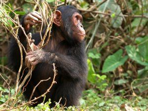 szympans-i-emocje